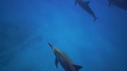 Video of Dolphins Swimming