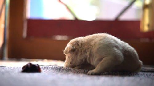 Small White Newborn Puppy