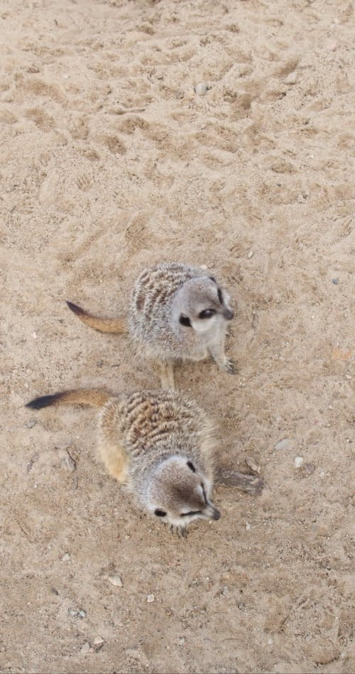 Video of a Two Meerkat