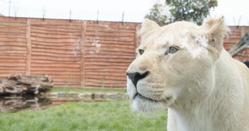 A Footage of a Lioness