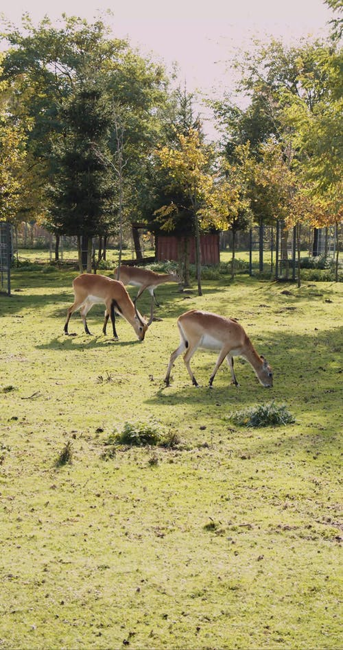 Vertical Video of a Herd of Antelopes Eating Grass Outside