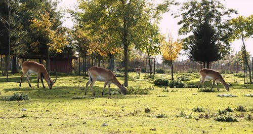 Wide Shot VIdeo of Antelopes Eating Grass