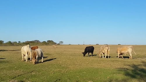 Wide Angle Shot of Cows Eating Grass