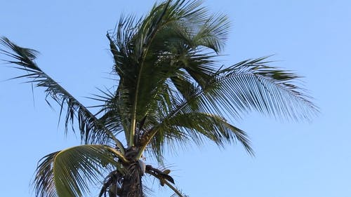 Close-Up Video Of Coconut Tree