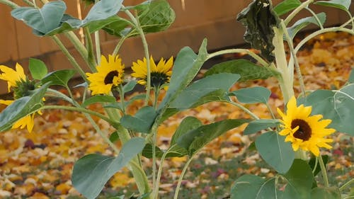 The Last Bloom Of Sunflowers In Summer