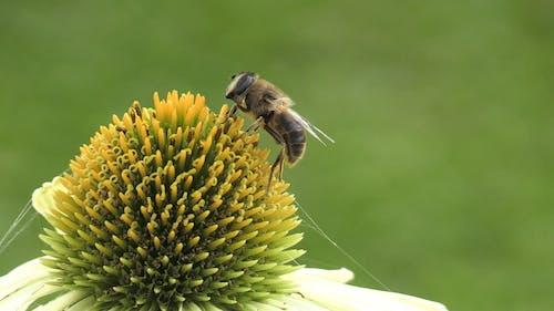 Shallow Focus of a Honeybee on a Flower