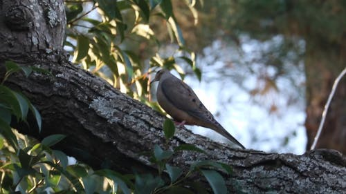 A Mourning Dove Perched on Tree Branch