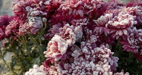 Close-Up View of Pink Flowers With Hoarfrost