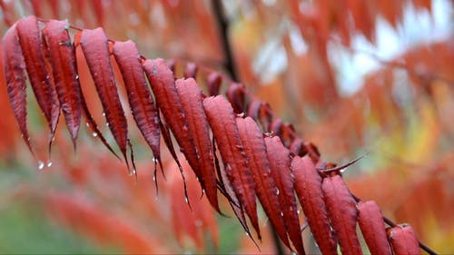 Water Droplet On Red Leaves