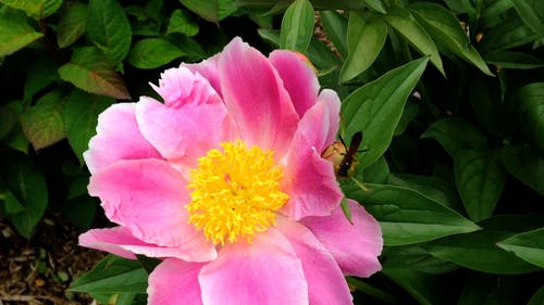 Wasp on a Peony Flower
