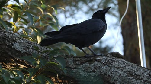 Crow Flying From A Trunk Tree