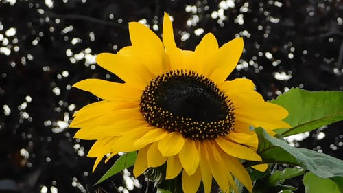 Close Up Video Of Sunflower