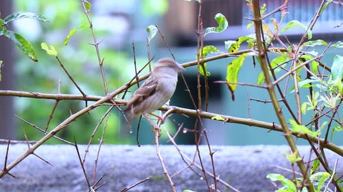 Rock Sparrow Perched on Branch