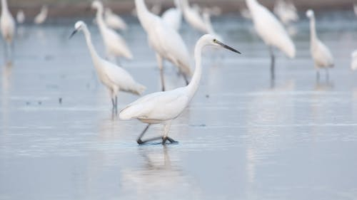 White Egret Walking in the Water