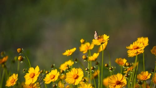 Butterfly over the Yellow Flower