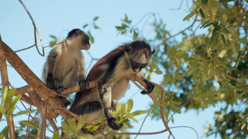Monkeys Eating Leaves on Top of the Tree Branches