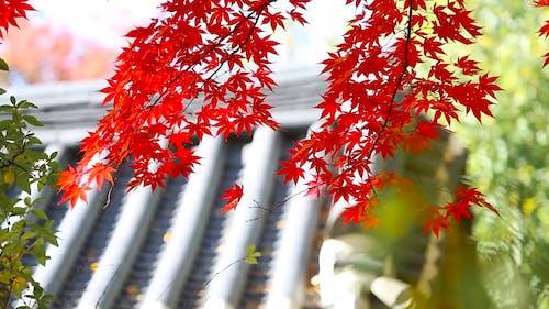 Beautiful Red Japanese Maple Tree