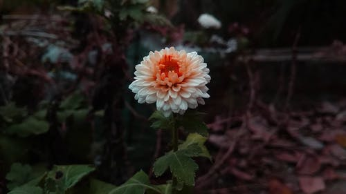 Footage Of Orange White Chrysanthemum