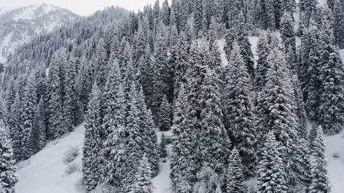 Pine Trees in the Winter