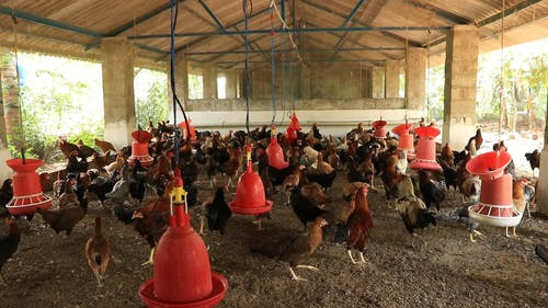 Chickens Feeding in a Coop