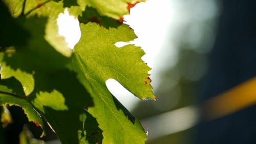 Close-Up View of Grape Leaves