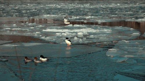 Ducks Swimming on the Frozen Lake