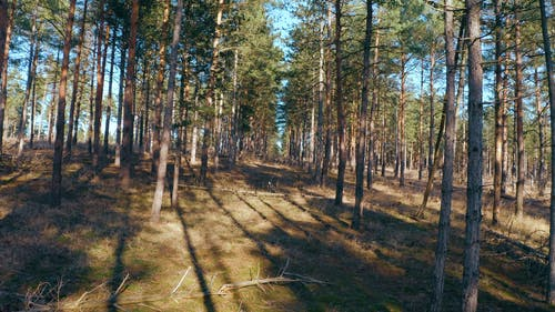 Drone Footage of Pine Trees