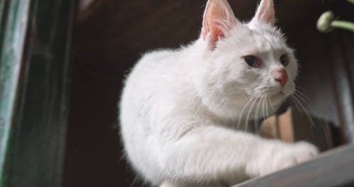 A White Cat On The Book Shelves