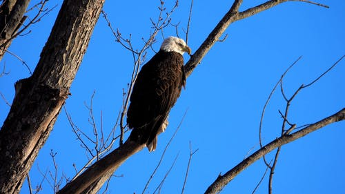 An Eagle on a Tree Branch