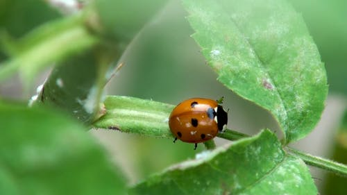 Close Up of a Ladybug