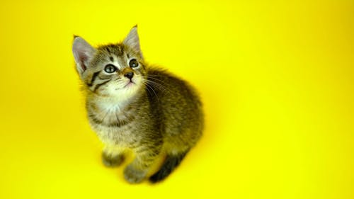 Video of a Cute Kitten