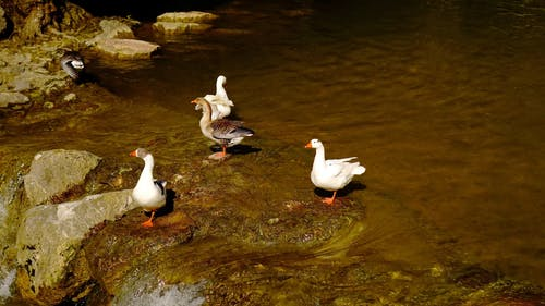 Group of Swans In Water Stream