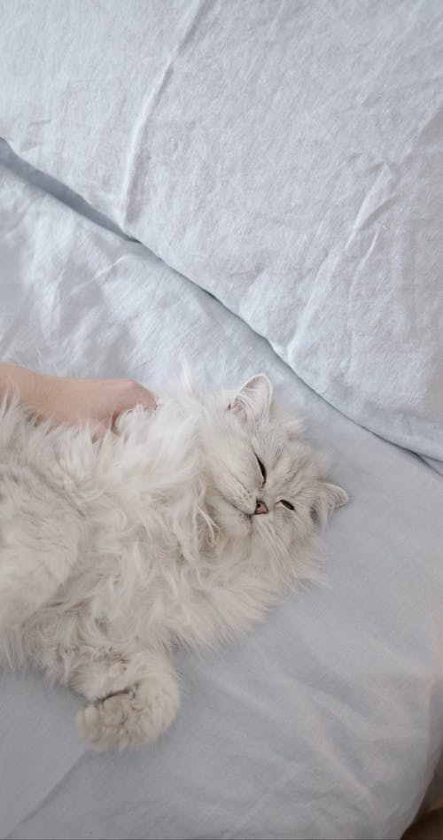 White Cat Lying Down on Bed
