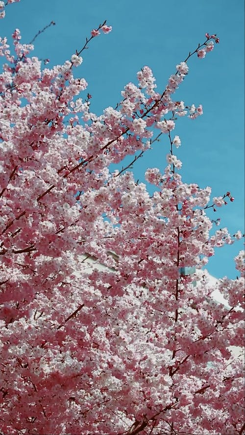 Cherry Blossoms Swaying in the Wind