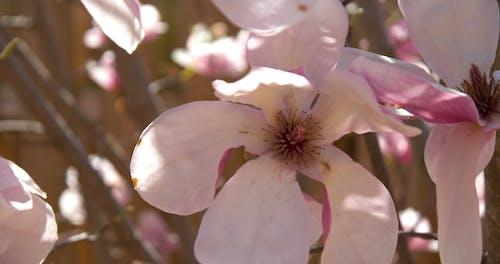 Close Up of Magnolia Flowers