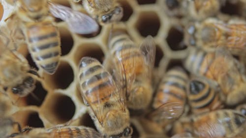 Close-Up View of Bees in a Honeycomb