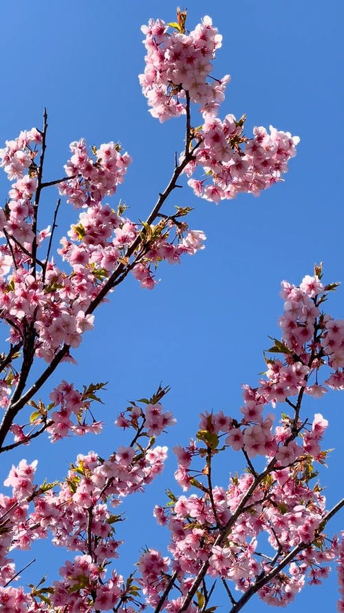 Low-Angle Shot of Pink Cherry Blossoms
