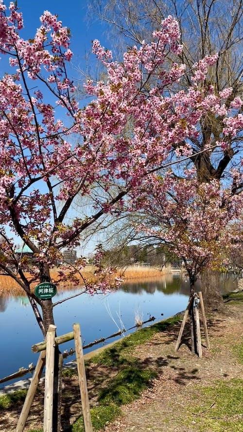 Cherry Blossom Close to Lake