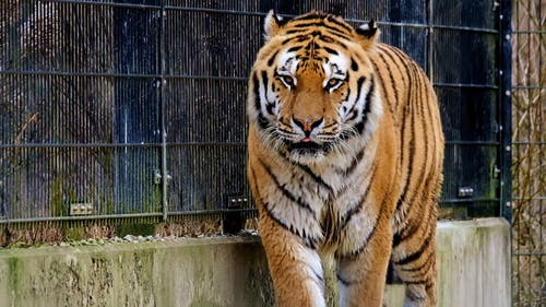 A Tiger Walking Inside a Cage
