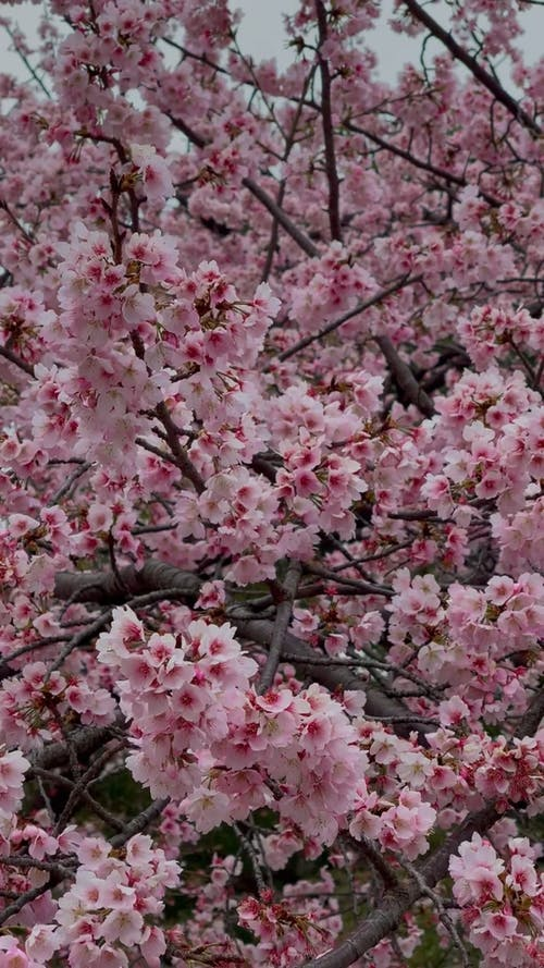 Video of Cherry Blossoms