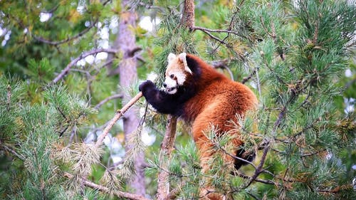 Footages of a Red Panda