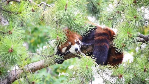 Close up Shot of a Red Panda on a Tree Branch