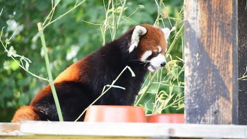 Video of Red Panda Eating