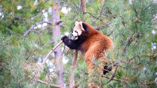 Video of Red Panda on a Tree