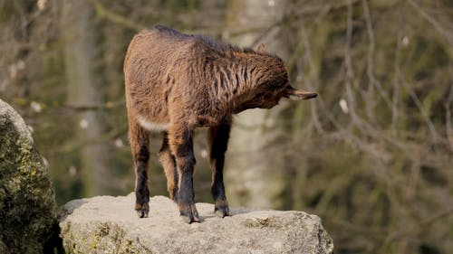 A Brown Goat