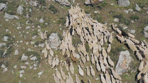 Aerial Footage of Sheep