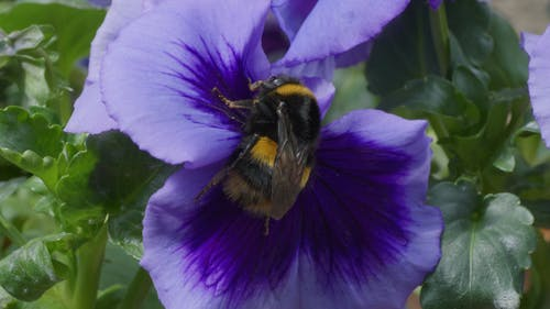 Close-Up View of a Bumblebee on Purple Flower