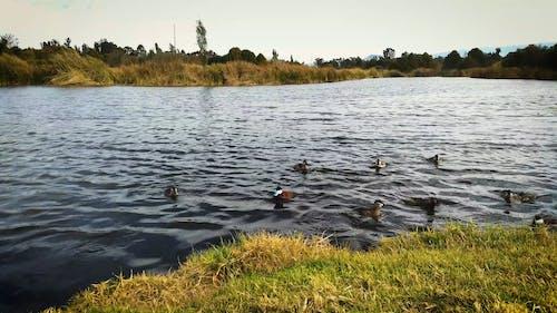 Ducks Floating on a Lake