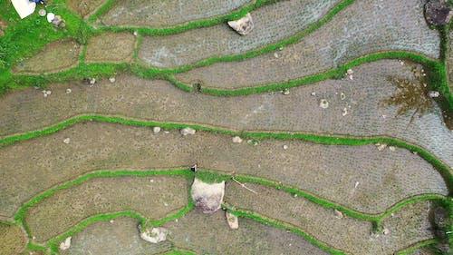 Bird's-Eye View of a Rice Field