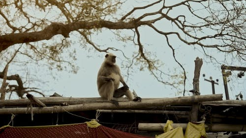 White Monkey Sitting on a Roof
